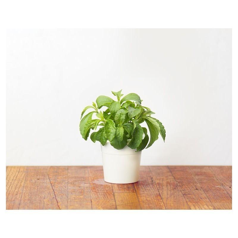 Click & Grow Smart Herb Garden refill Stevia 3pcs
