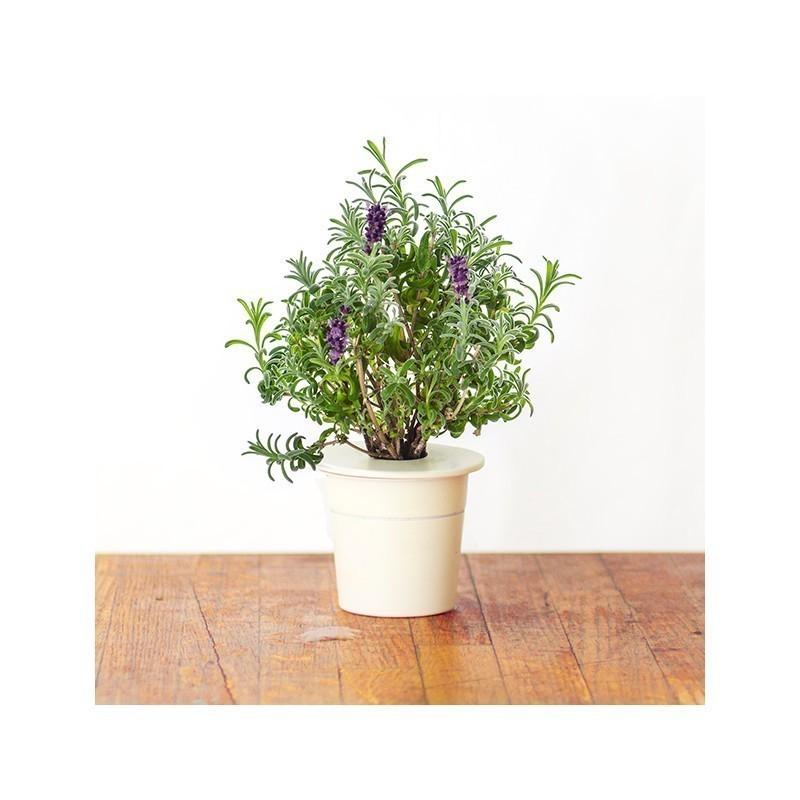 Click & Grow Smart Herb Garden refill Lavendel 3tk