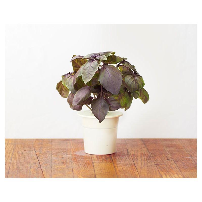 Click & Grow Smart Herb Garden refill Tai Basiilik 3tk
