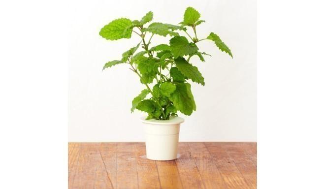 Click & Grow Smart Herb Garden кассета, Мелисса (3 шт)