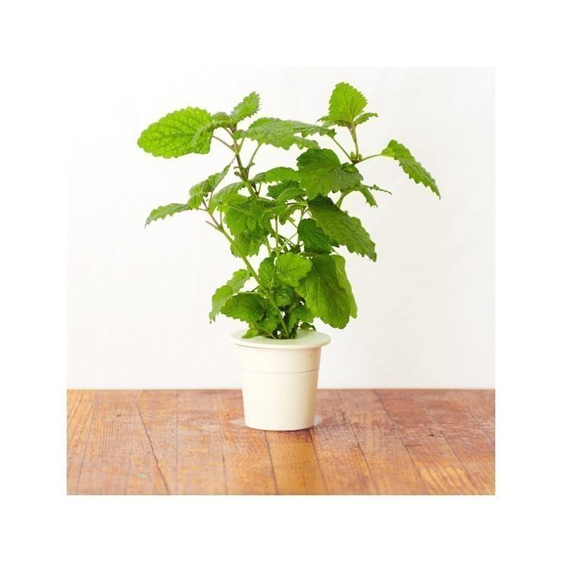 Click & Grow Smart Herb Garden refill Sidrunmeliss 3tk