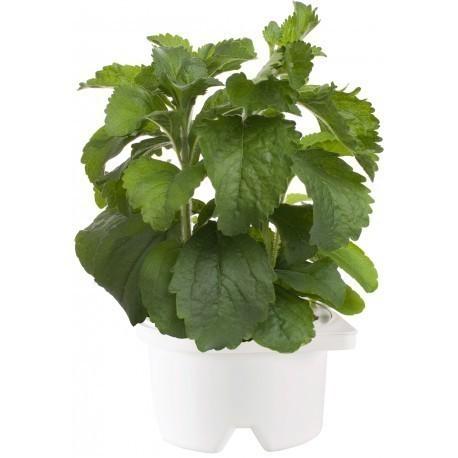 Click & Grow Smartpot refill Suhkruleht
