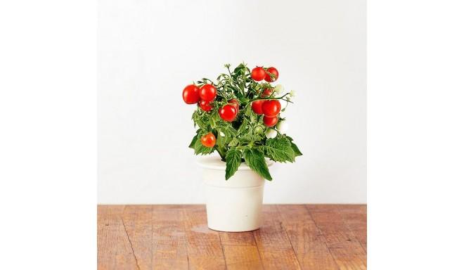 Click & Grow Smart Herb Garden refill Minitomat 3tk
