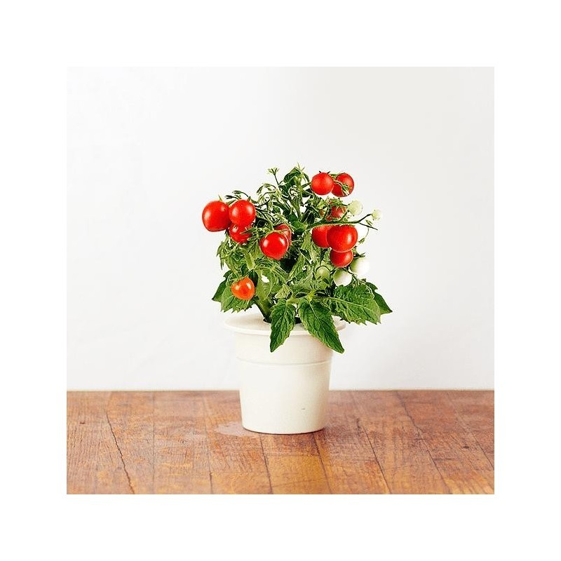 Click & Grow Smart Herb Garden refill Mini-tomato (3-pack)